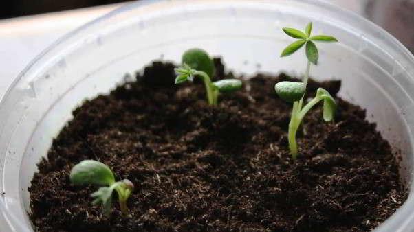 люпины выращивание из семян когда сажать семена