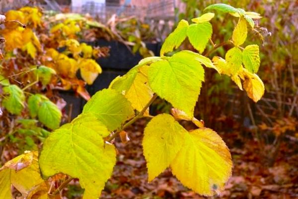 куст малины осенью