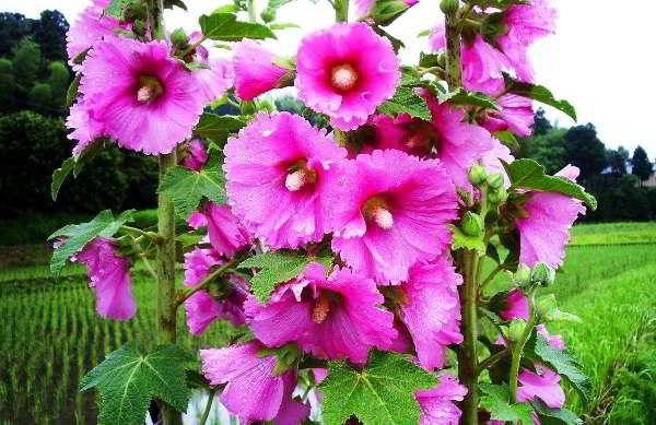 какие цветы сажают в марте на рассаду фото