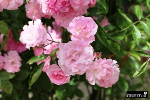 плетистые розы посадка и уход из черенков