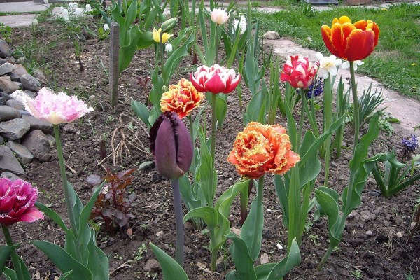 посадка тюльпанов осенью в грунт на урале