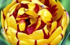Посадка тюльпанов осенью в открытый грунт сроки и правила для различных регионов