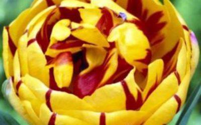 посадка тюльпанов осенью в грунт сроки уход