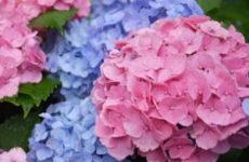 Как правильно поливать гортензию в домашних условиях и в саду