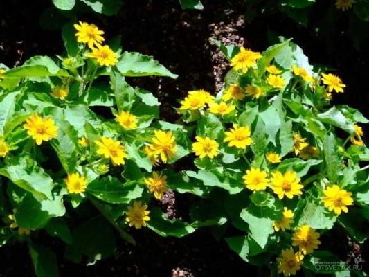 хризантема в горшке уход в домашних условиях долго ли цветет