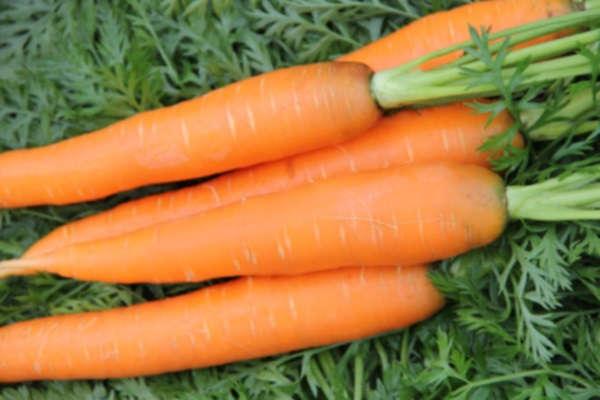посадка моркови осенью под зиму сроки