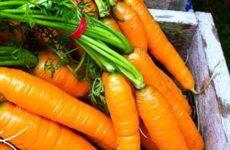 Как и когда правильно сажать под зиму морковь