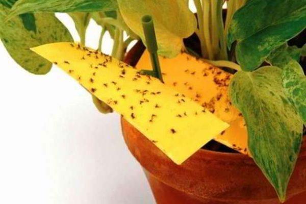цветочная мошка как избавиться в домашних условиях