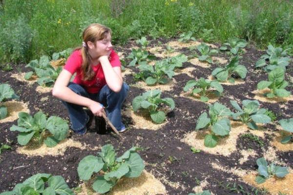 цветная капуста выращивание и уход в открытом грунте на урале