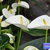 антуриум цветок фото
