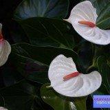 растение антуриум фото