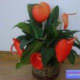 женский цветок антуриум фото