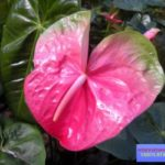 антуриум цветок фото и уход