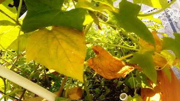 почему желтеют листья у огурцов что делать
