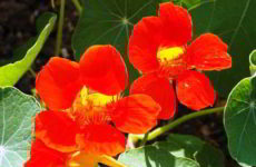 Правила выращивания настурции из семян когда сажать на рассаду