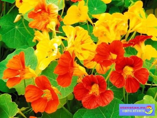 настурция выращивание из семян когда сажать сорта