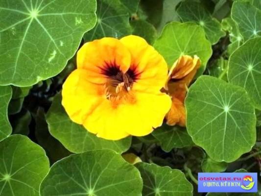 настурция выращивание из семян когда сажать дома