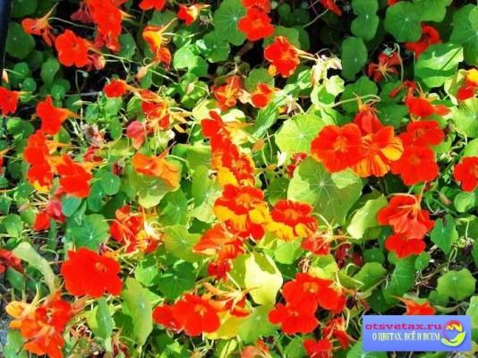 настурция выращивание из семян когда сажать в открытый грунт