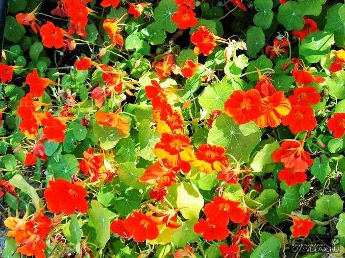 вьющиеся растения для дачи фото и названия для сибири