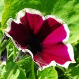 петуния фото цветов