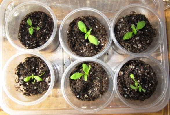 немезия из семян в домашних условиях