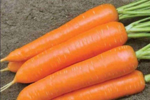 посадка моркови осенью под зиму на урале