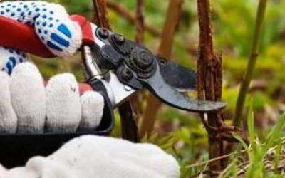 как обрезать малину осенью хороший урожай