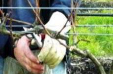Как правильно обрезать виноград весной схемы обрезки, формирование куста