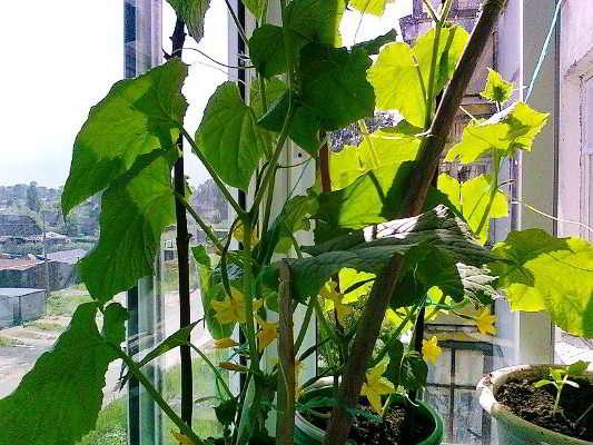 выращивание огурцов на балконе ошибки