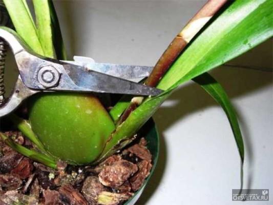 как размножить орхидею в домашних условиях верхушечными черенками