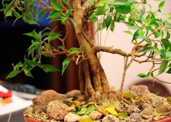 почему опадают листья у фикуса бенджамина