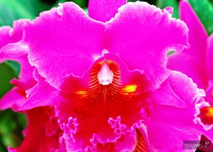 орхидея уход в домашних условиях фото цветение