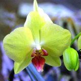 цветы комнатные цветущие фото и названия орхидея