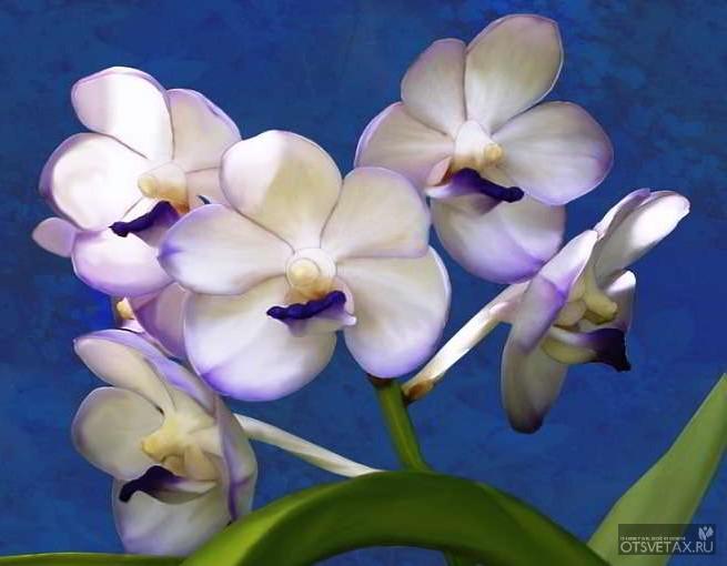 орхидея уход в домашних условиях фото сохнут листья