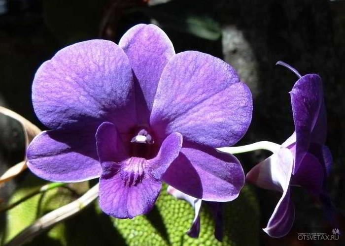 орхидея уход в домашних условиях фото форум