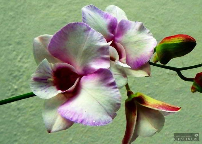 орхидея уход в домашних условиях фото размножение