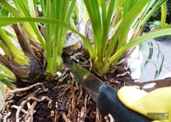 размножение орхидеи в домашних условиях корневищем