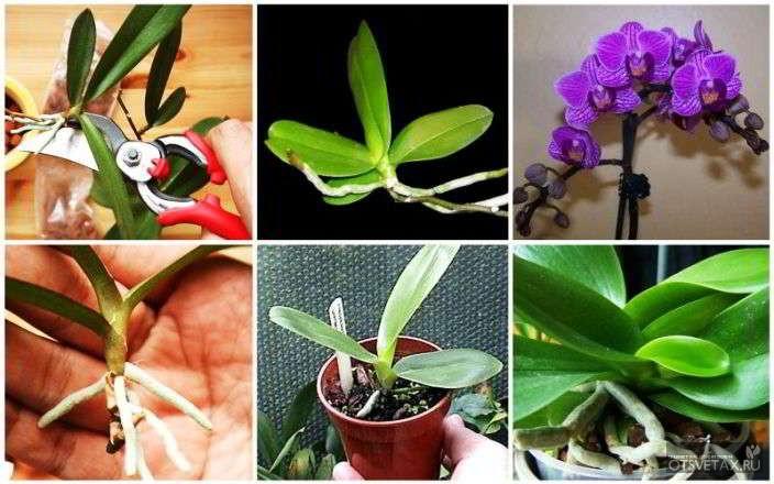 орхидея уход в домашних условиях фото горшки