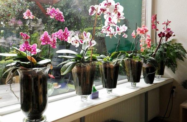 орхидея фото в горшке как ухаживать