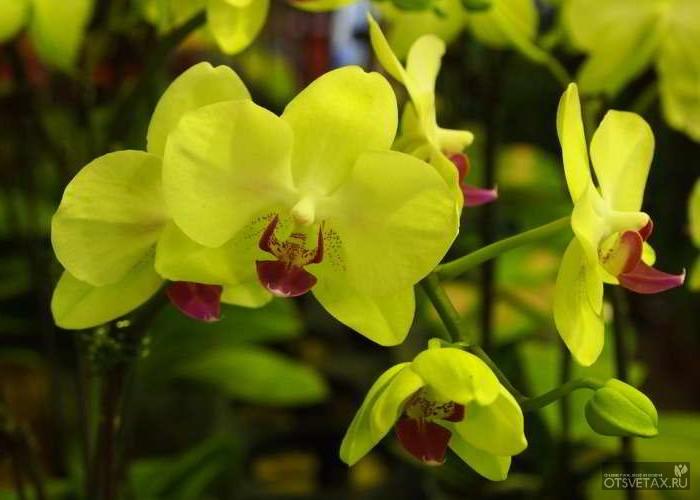 орхидея уход в домашних условиях фото почему не цветет