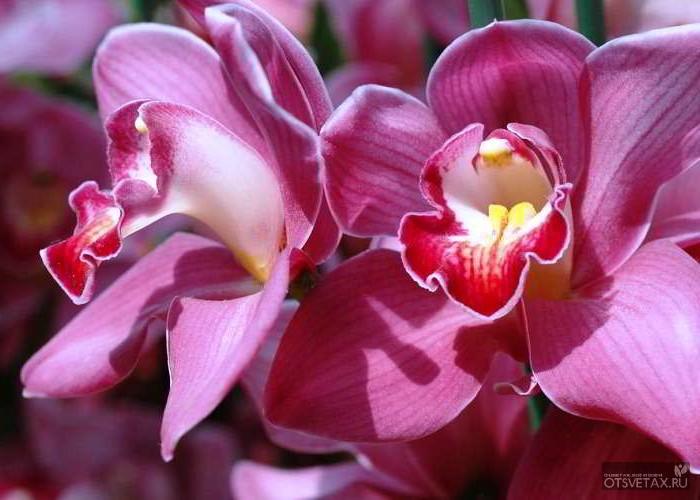 орхидея уход в домашних условиях фото болезни листьев