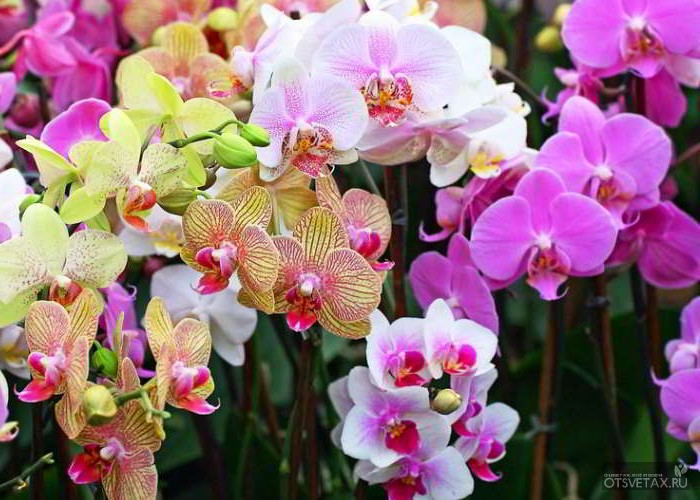 орхидея фаленопсис уход в домашних условиях фото