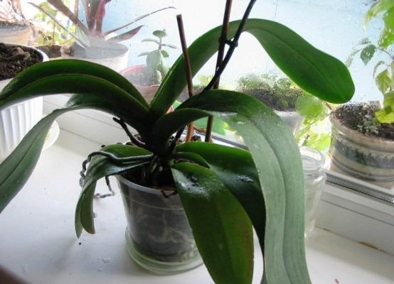 цветок орхидея после покупки