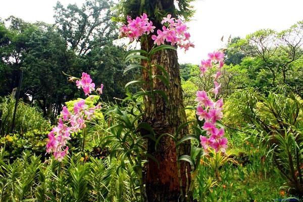 orhideya_epifit
