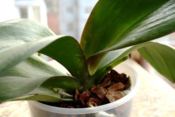 орхидея не цветет как ухаживать