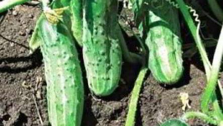 Ошибки при выращивании огурцов в домашних условиях, открытом грунте, теплице