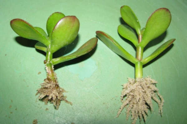 денежное дерево как посадить отросток по фэншую