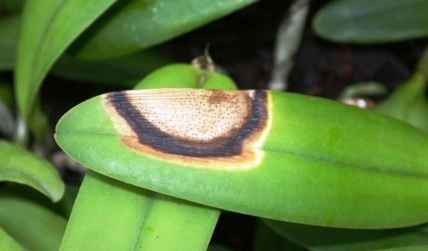 желтое пятно на листе орхидеи