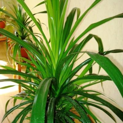 панданус уход в домашних условиях желтеют листья