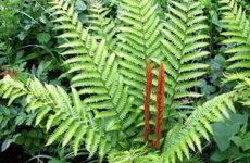 Растение папоротник королевский